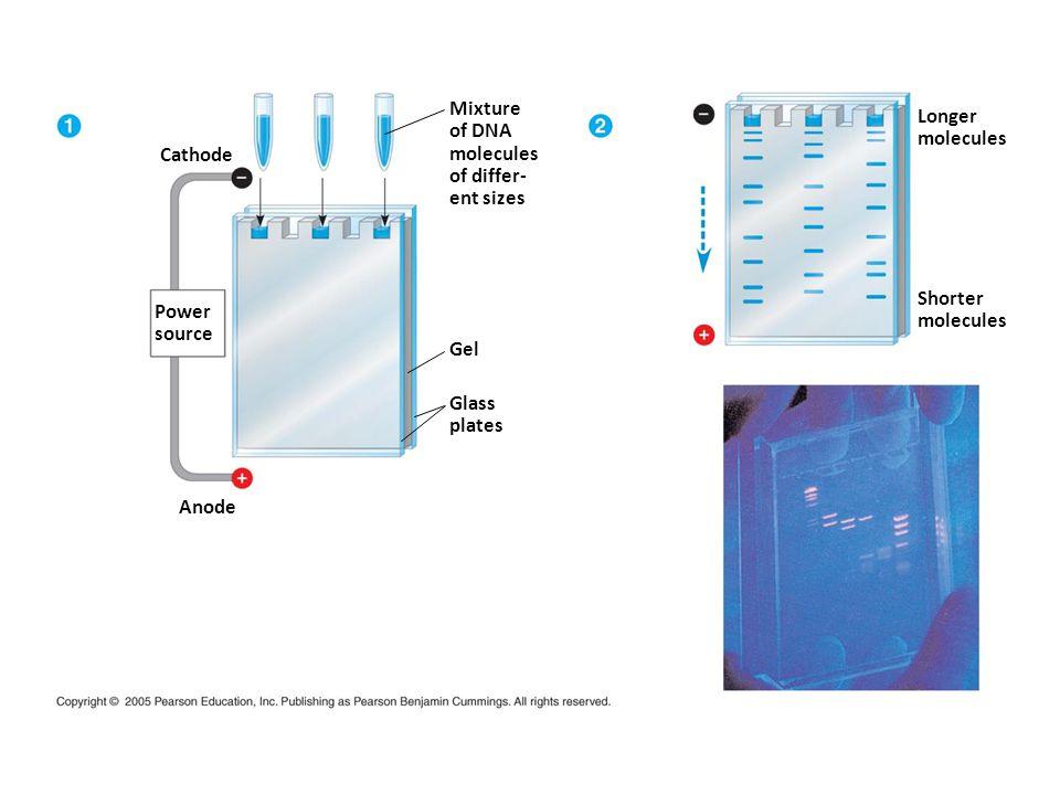 Mixture of DNA. molecules. of differ- ent sizes. Longer. molecules. Cathode. Shorter. molecules.