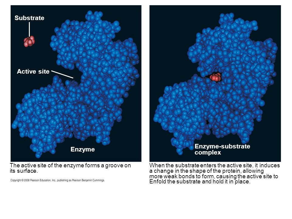 Substrate Active site Enzyme-substrate Enzyme complex