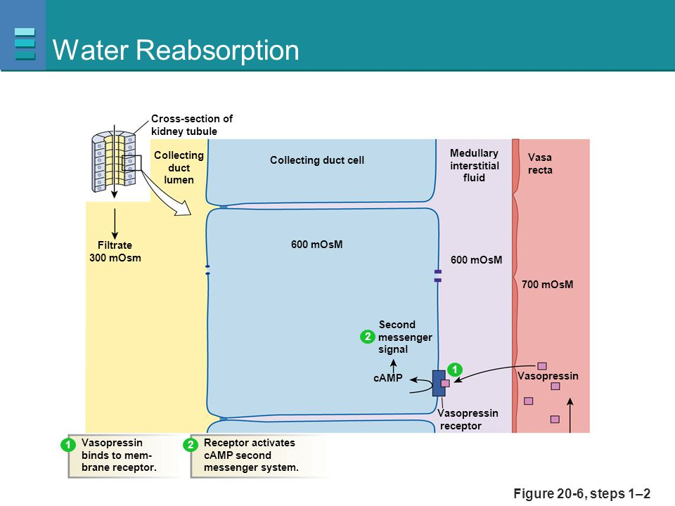 Water Reabsorption Figure 20-6, steps 1–2 Collecting duct lumen