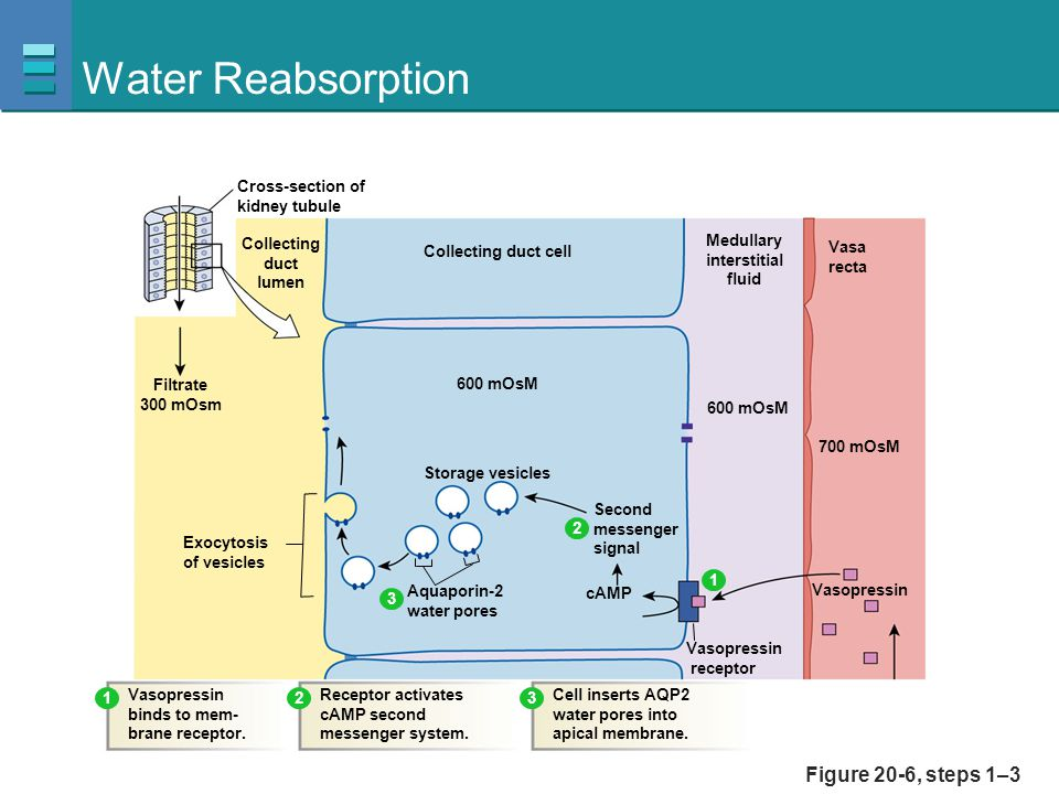 Water Reabsorption Figure 20-6, steps 1–3 Collecting duct lumen