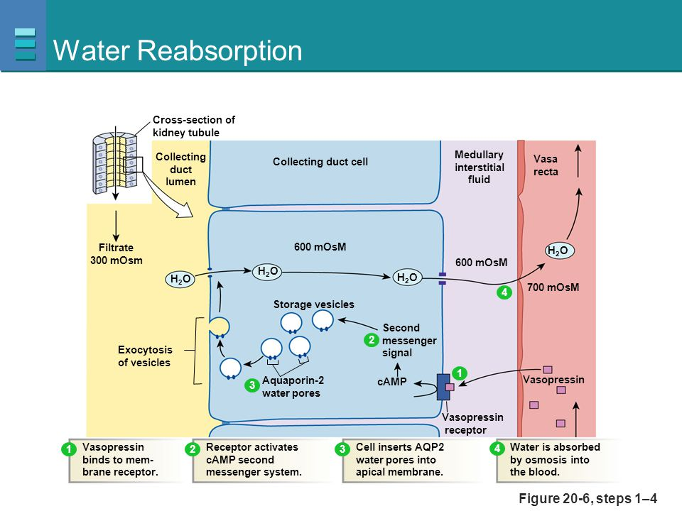 Water Reabsorption Figure 20-6, steps 1–4 Collecting duct lumen