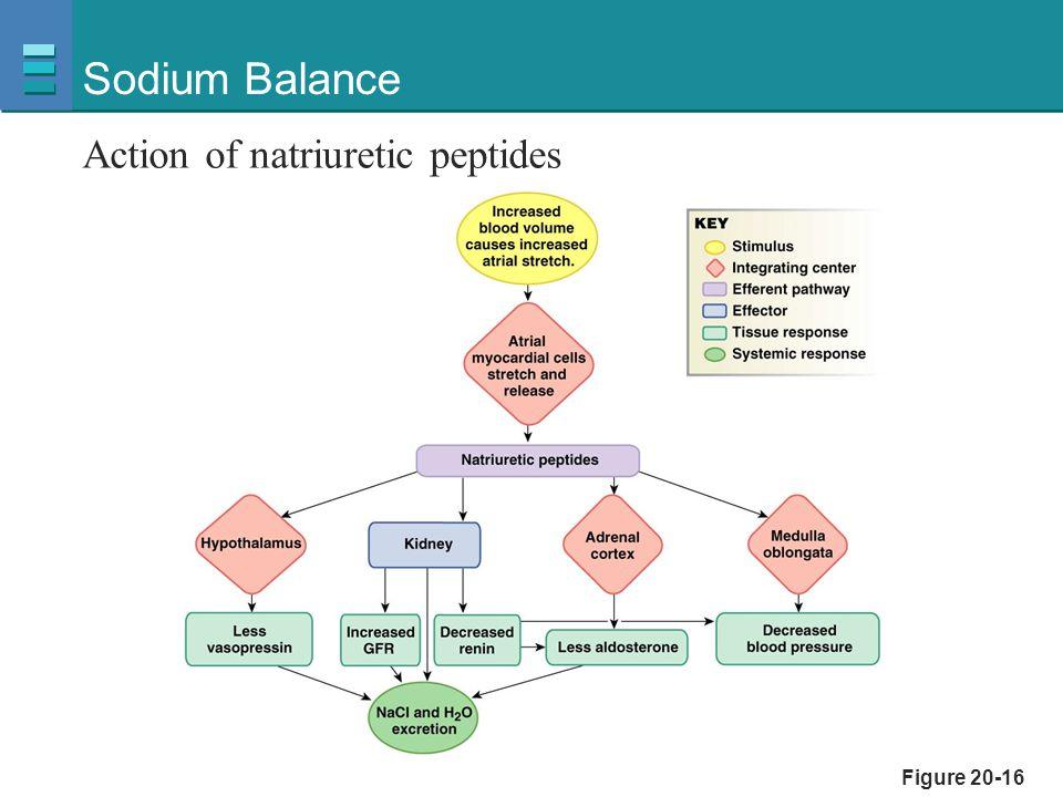 Sodium Balance Action of natriuretic peptides Figure 20-16