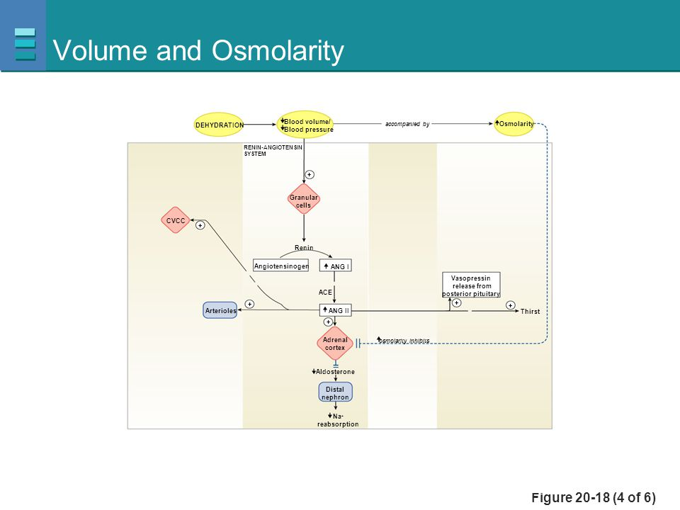 Volume and Osmolarity Figure 20-18 (4 of 6) Blood volume/