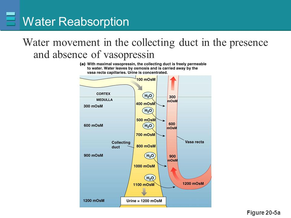 Water Reabsorption Water movement in the collecting duct in the presence and absence of vasopressin.
