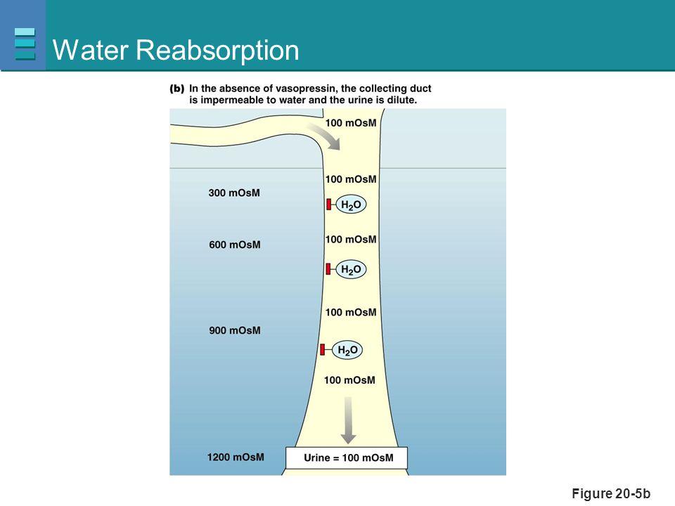 Water Reabsorption Figure 20-5b