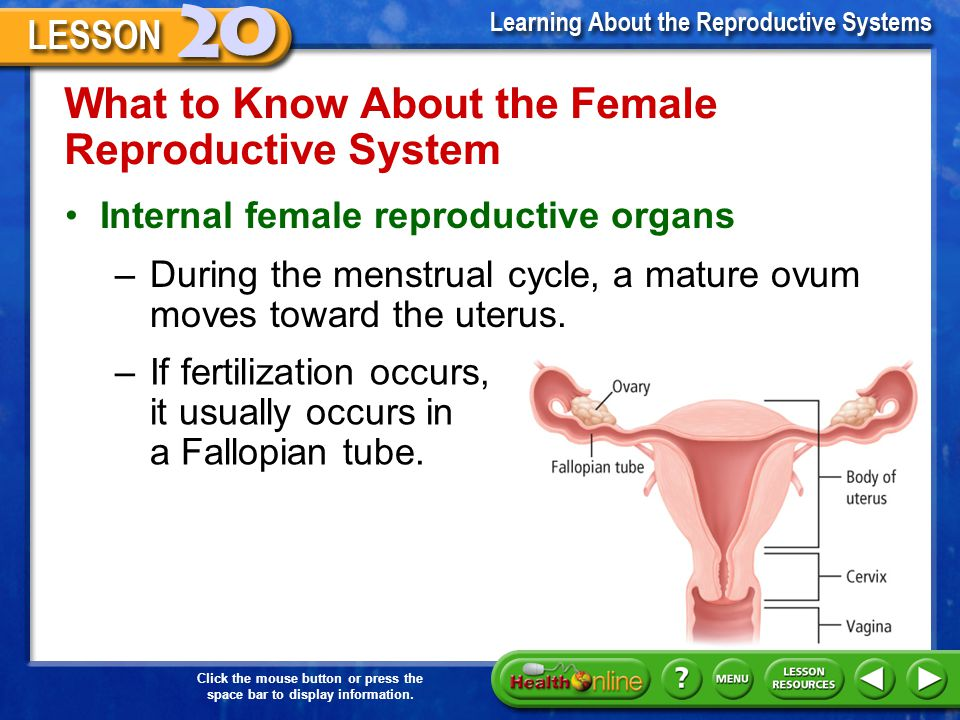 What to Know About the Female Reproductive System