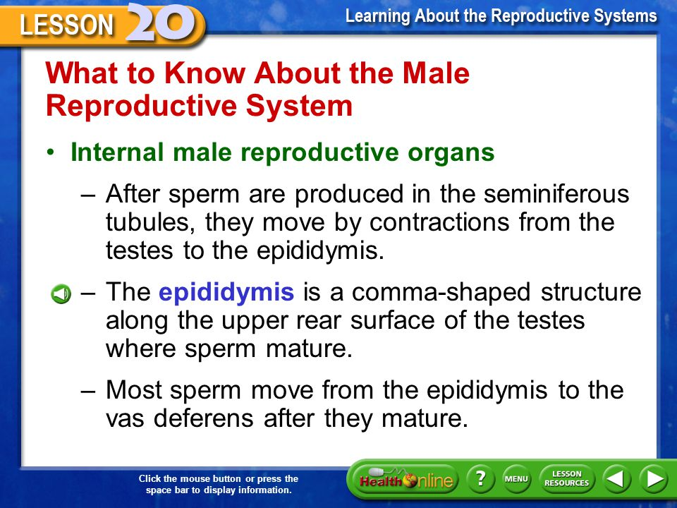 What to Know About the Male Reproductive System
