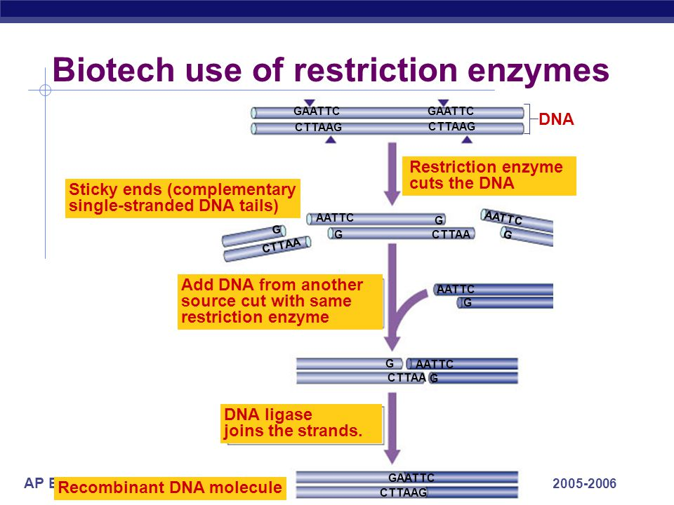 Biotech use of restriction enzymes