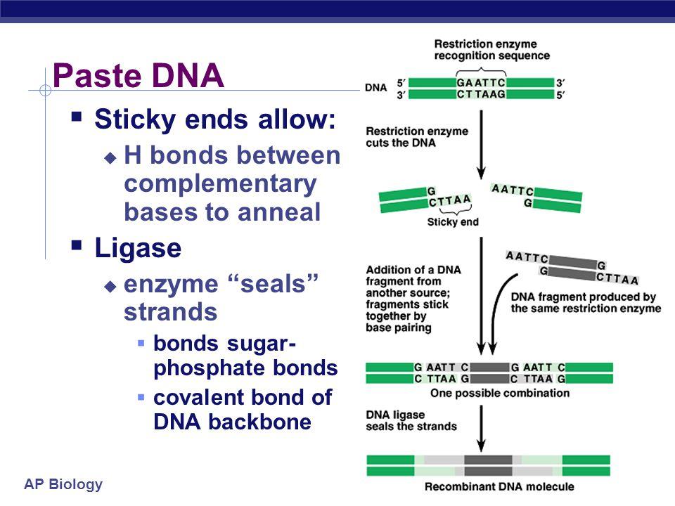 Paste DNA Sticky ends allow: Ligase