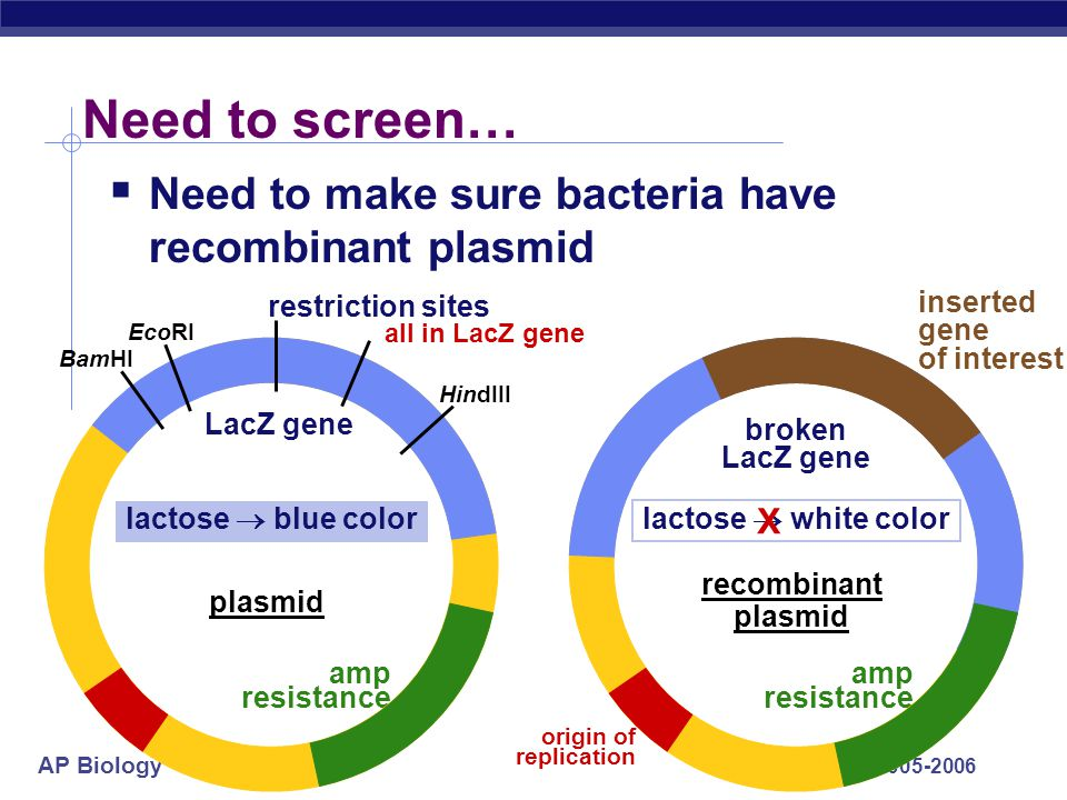 Need to screen… Need to make sure bacteria have recombinant plasmid X