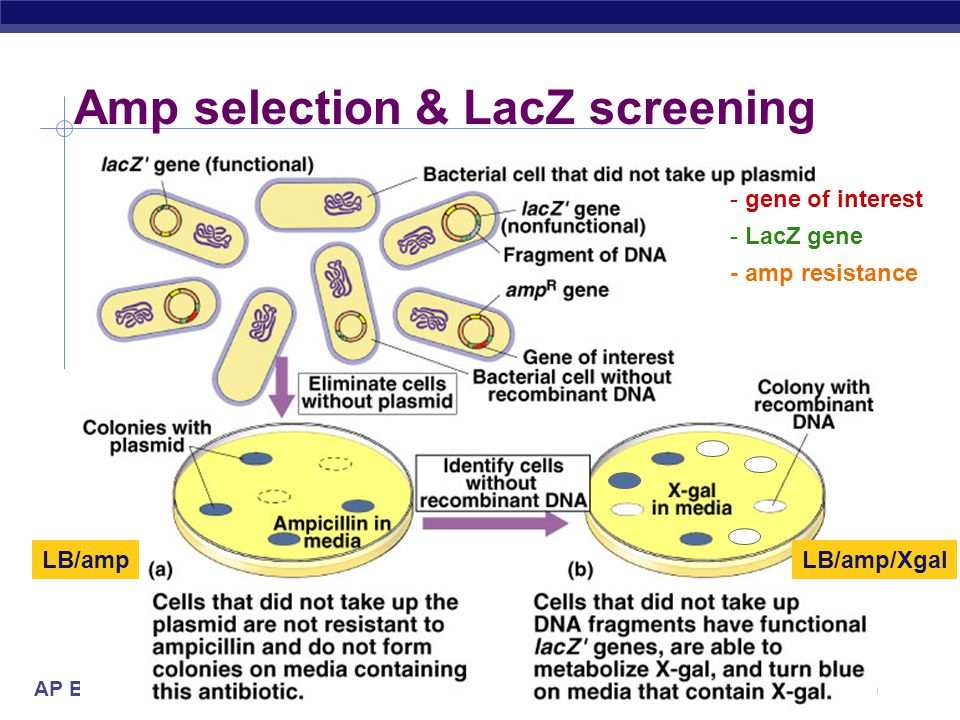 Amp selection & LacZ screening