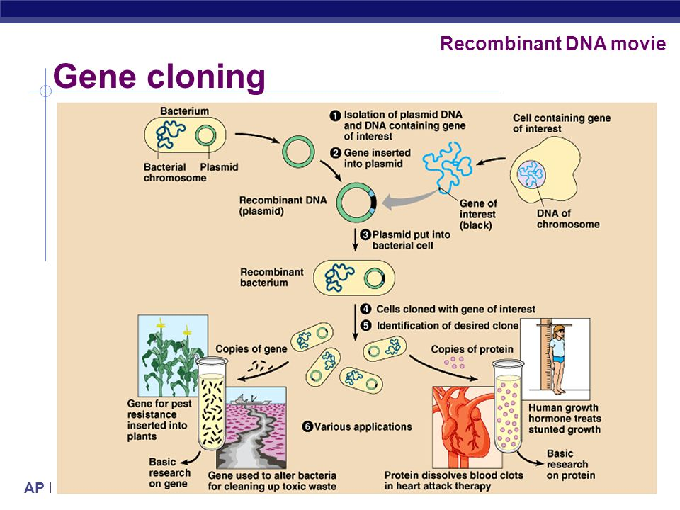 Recombinant DNA movie Gene cloning 2005-2006