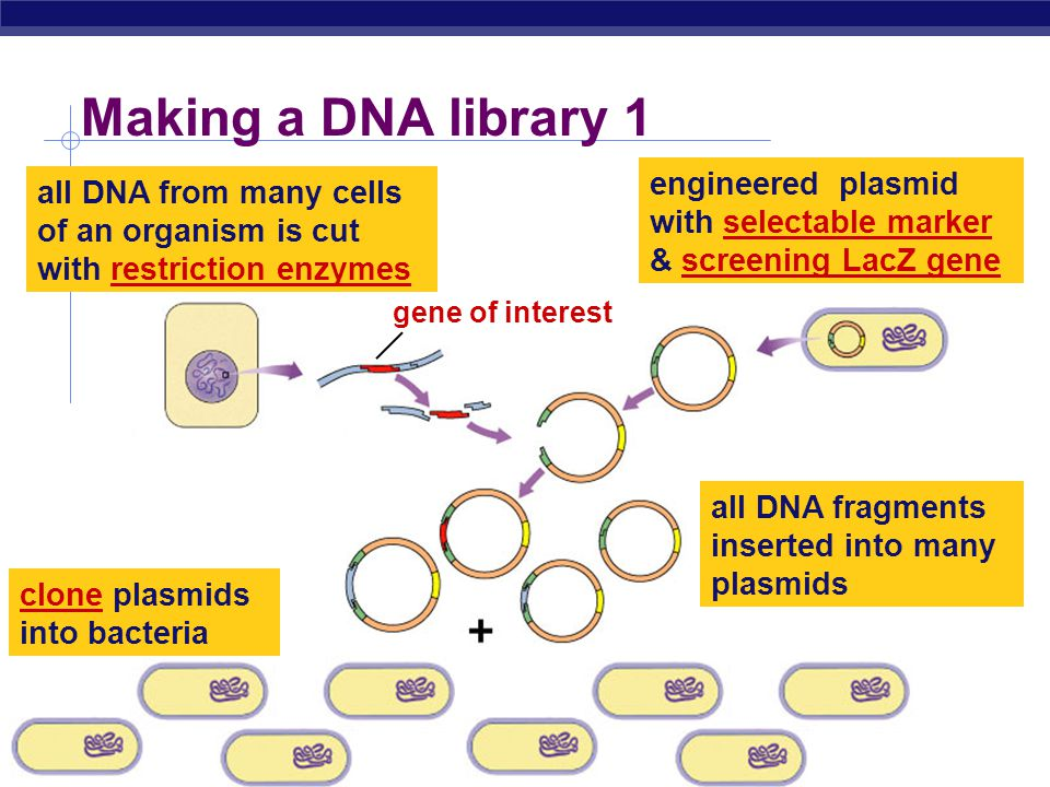 Making a DNA library 1 engineered plasmid with selectable marker & screening LacZ gene.