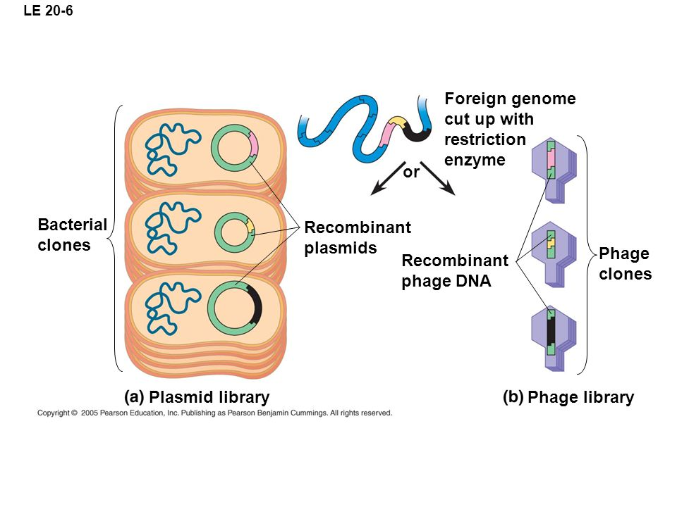 Foreign genome cut up with restriction enzyme or Bacterial clones