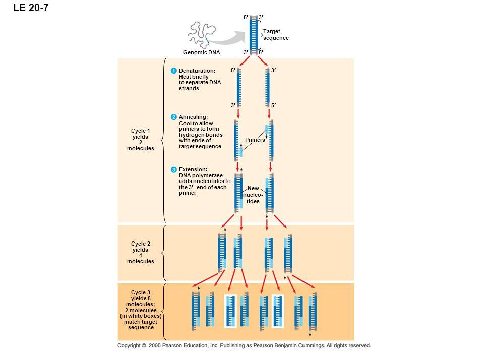 LE 20-7 5¢ 3¢ Target sequence Genomic DNA 3¢ 5¢ Denaturation: