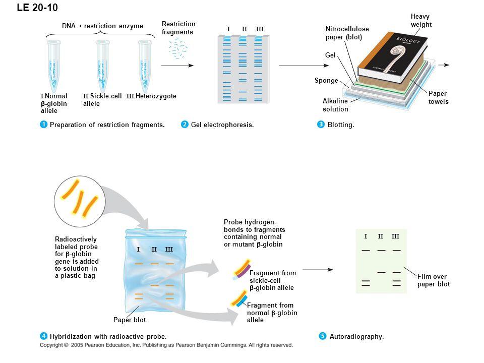 DNA + restriction enzyme