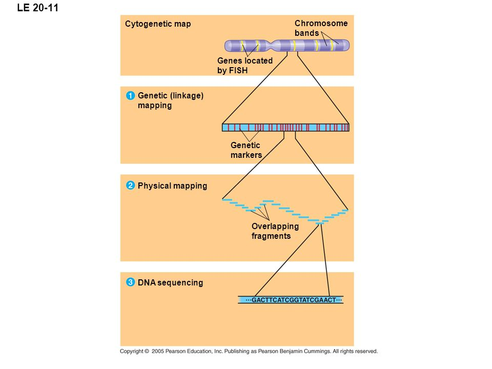 LE 20-11 Cytogenetic map Chromosome bands Genes located by FISH