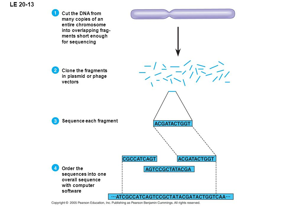 LE 20-13 Cut the DNA from many copies of an entire chromosome into overlapping frag-ments short enough for sequencing.
