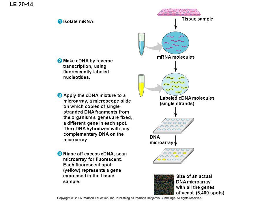 LE 20-14 Tissue sample Isolate mRNA. mRNA molecules