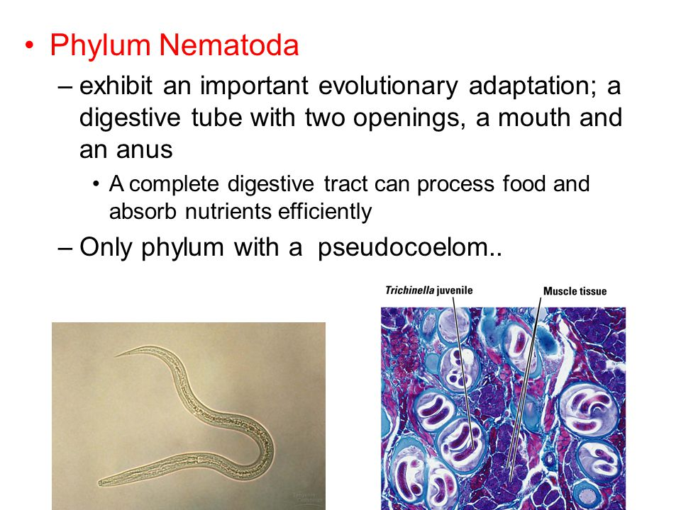 Phylum Nematoda exhibit an important evolutionary adaptation; a digestive tube with two openings, a mouth and an anus.