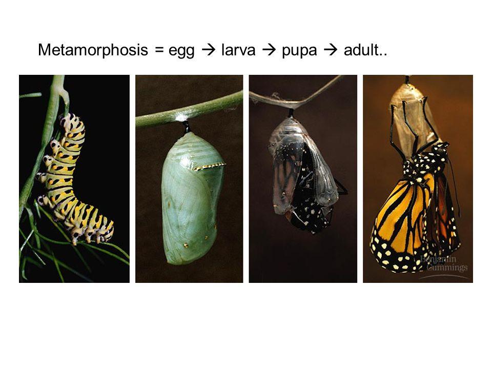 Metamorphosis = egg  larva  pupa  adult..