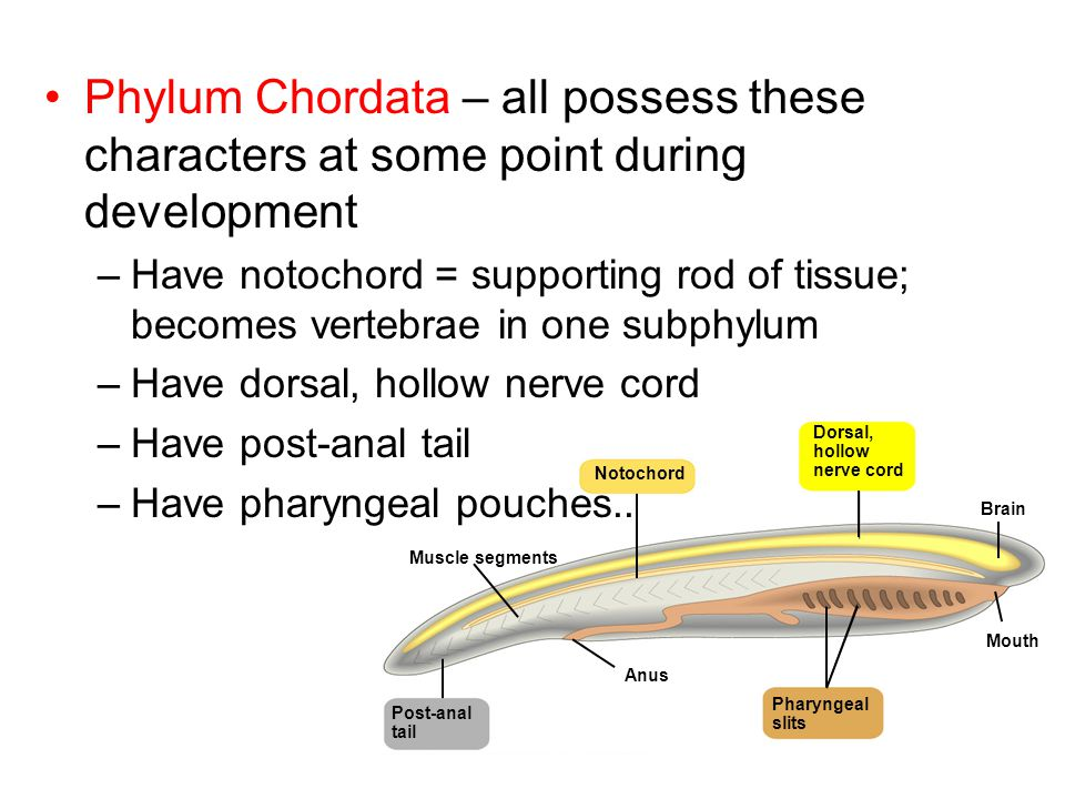 Phylum Chordata – all possess these characters at some point during development