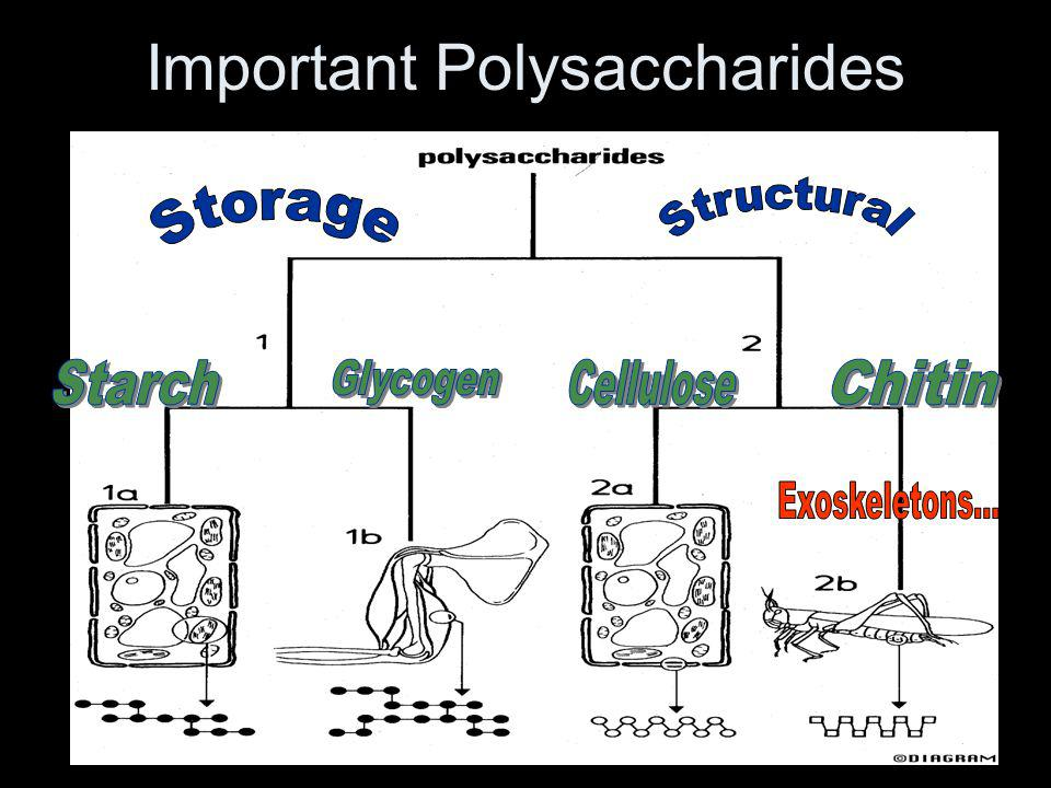 Important Polysaccharides