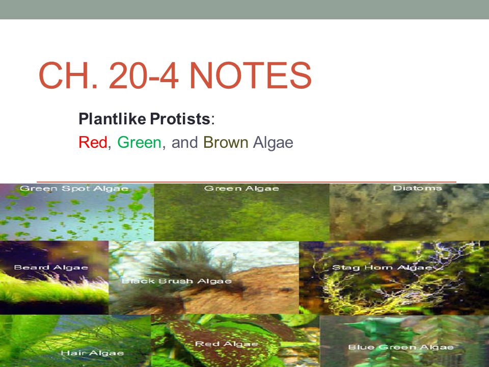 Plantlike Protists: Red, Green, and Brown Algae