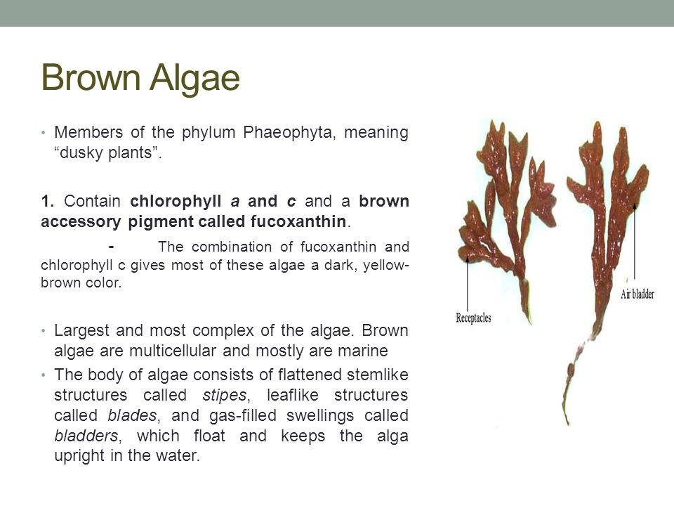 Brown Algae Members of the phylum Phaeophyta, meaning dusky plants .