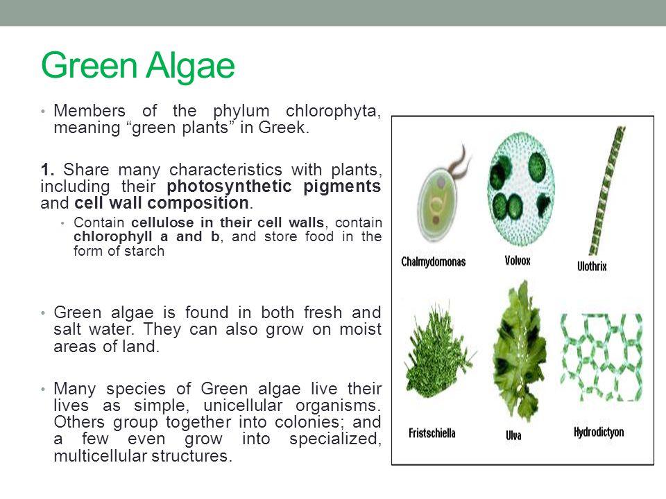 Green Algae Members of the phylum chlorophyta, meaning green plants in Greek.