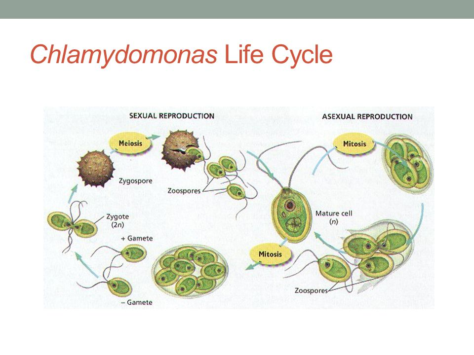 Chlamydomonas Life Cycle