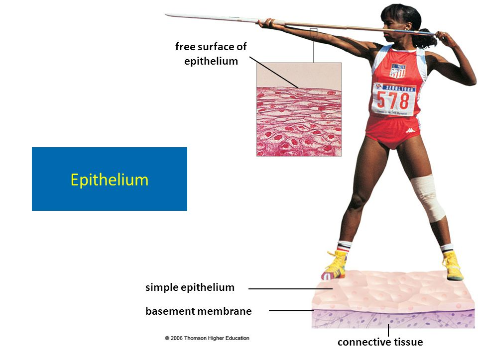 free surface of epithelium