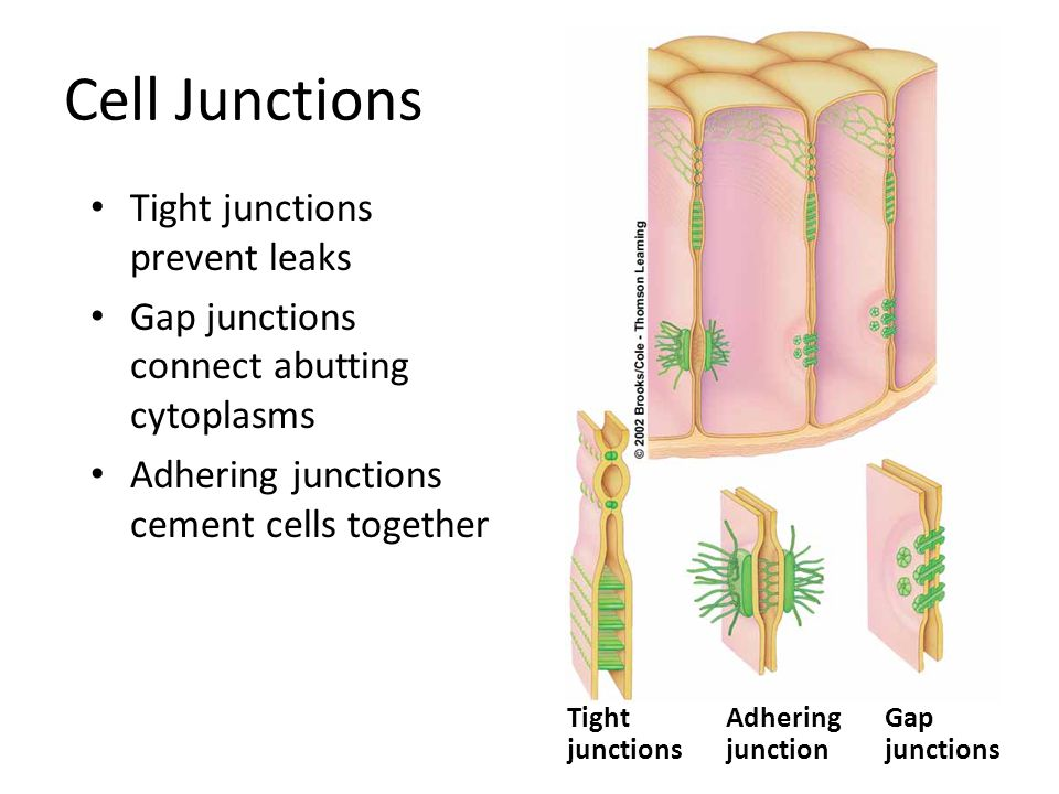 Cell Junctions Tight junctions prevent leaks