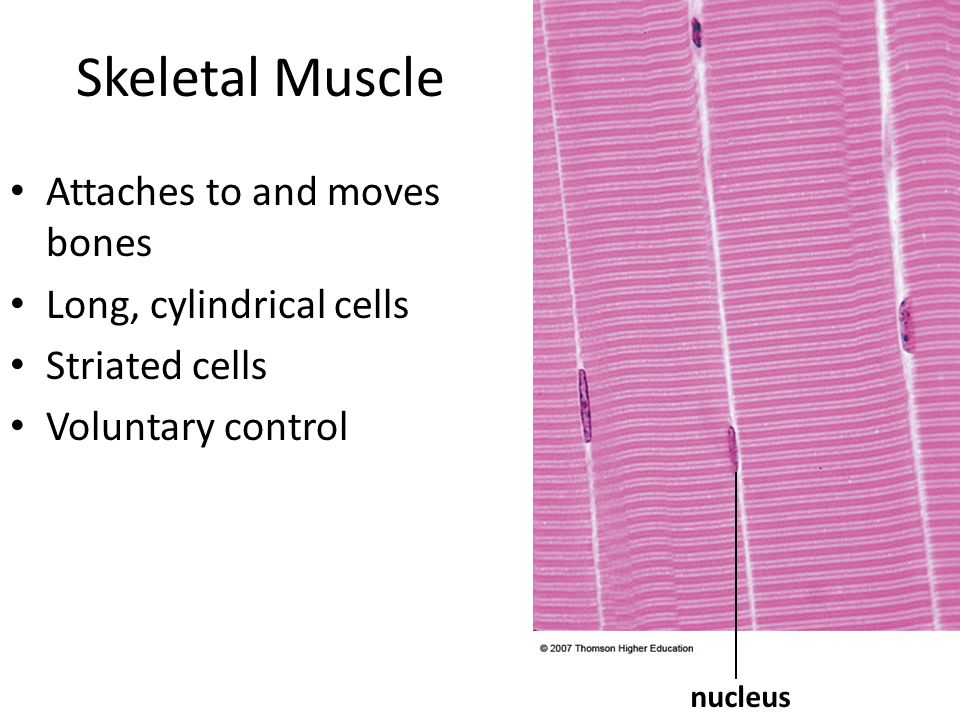 Skeletal Muscle Attaches to and moves bones Long, cylindrical cells