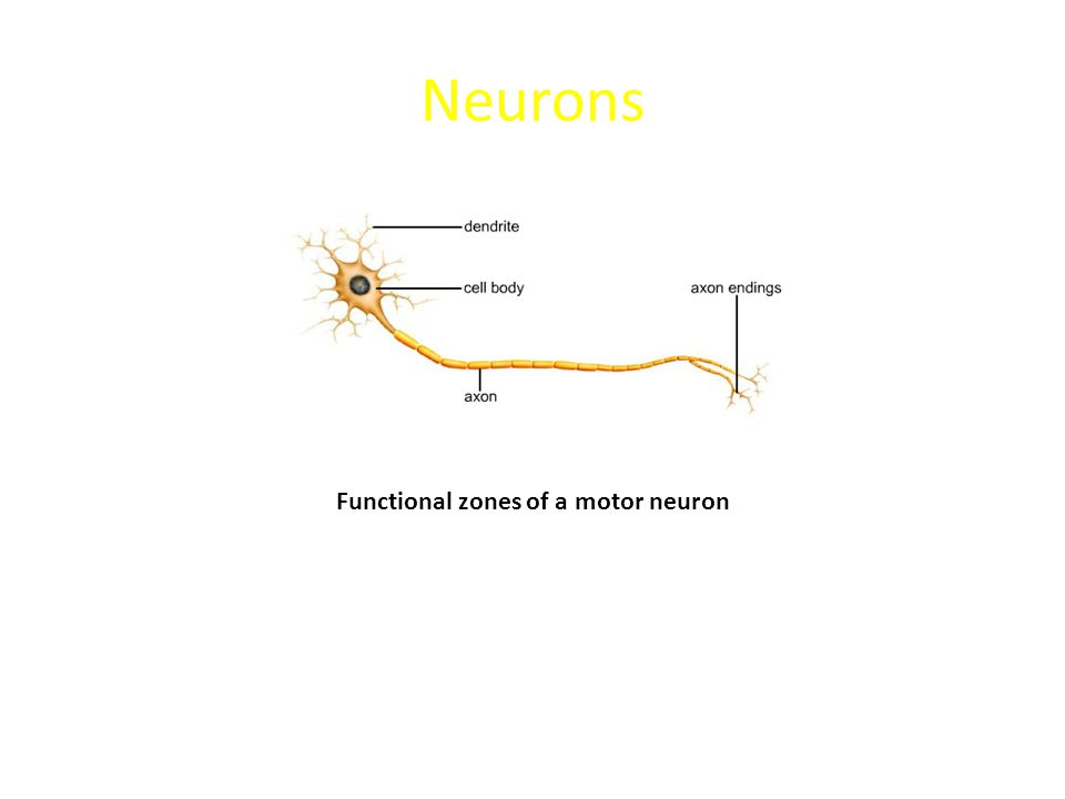 Functional zones of a motor neuron