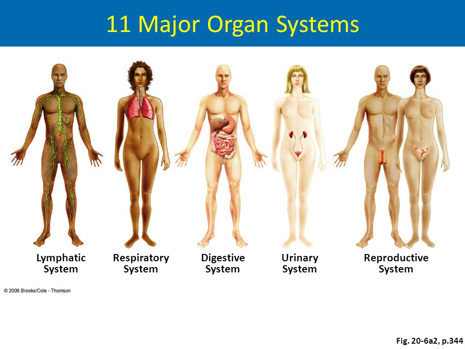 11 Major Organ Systems Lymphatic System Respiratory System