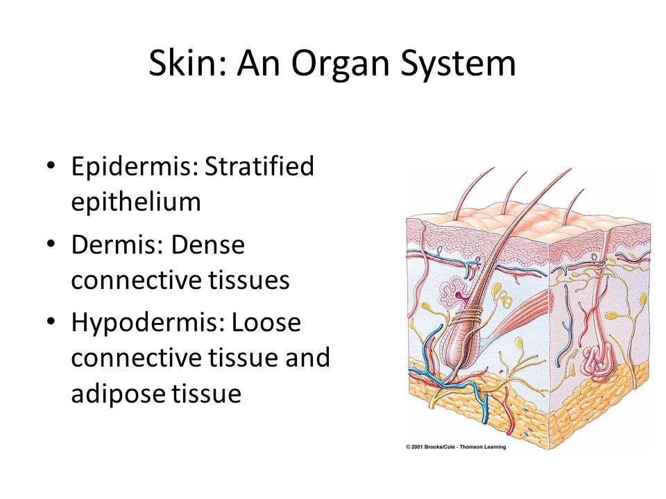 Skin: An Organ System Epidermis: Stratified epithelium