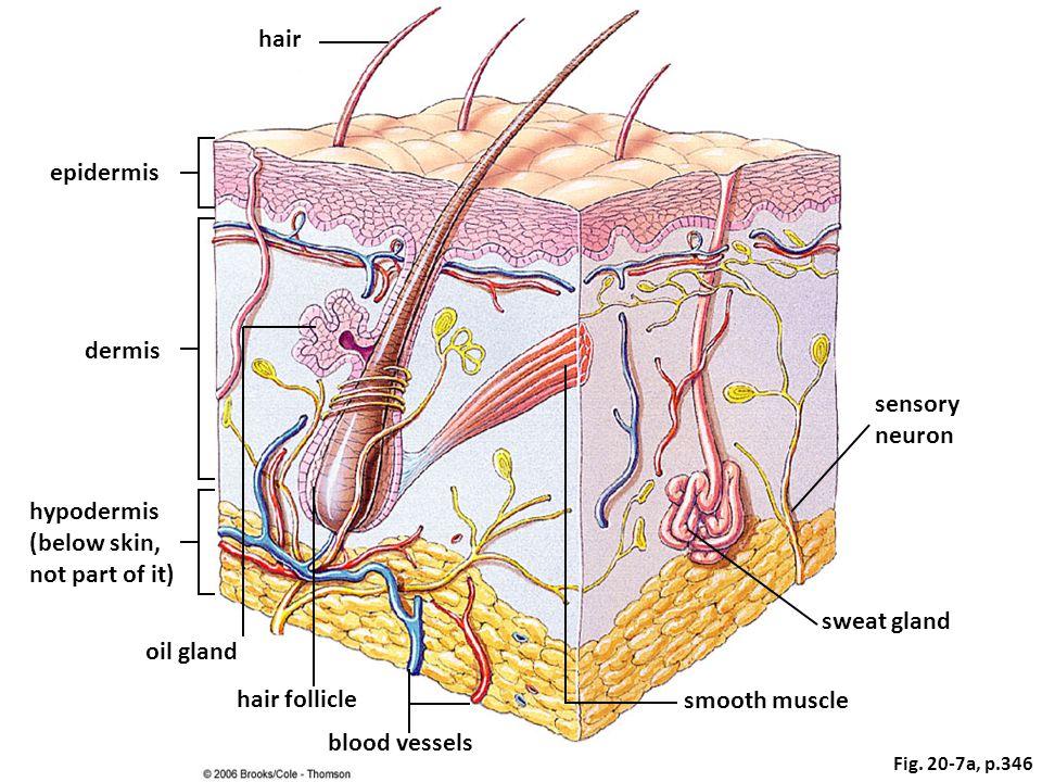 hair epidermis dermis sensory neuron hypodermis (below skin,