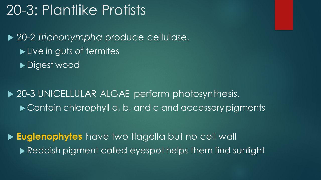 20-3: Plantlike Protists 20-2 Trichonympha produce cellulase.