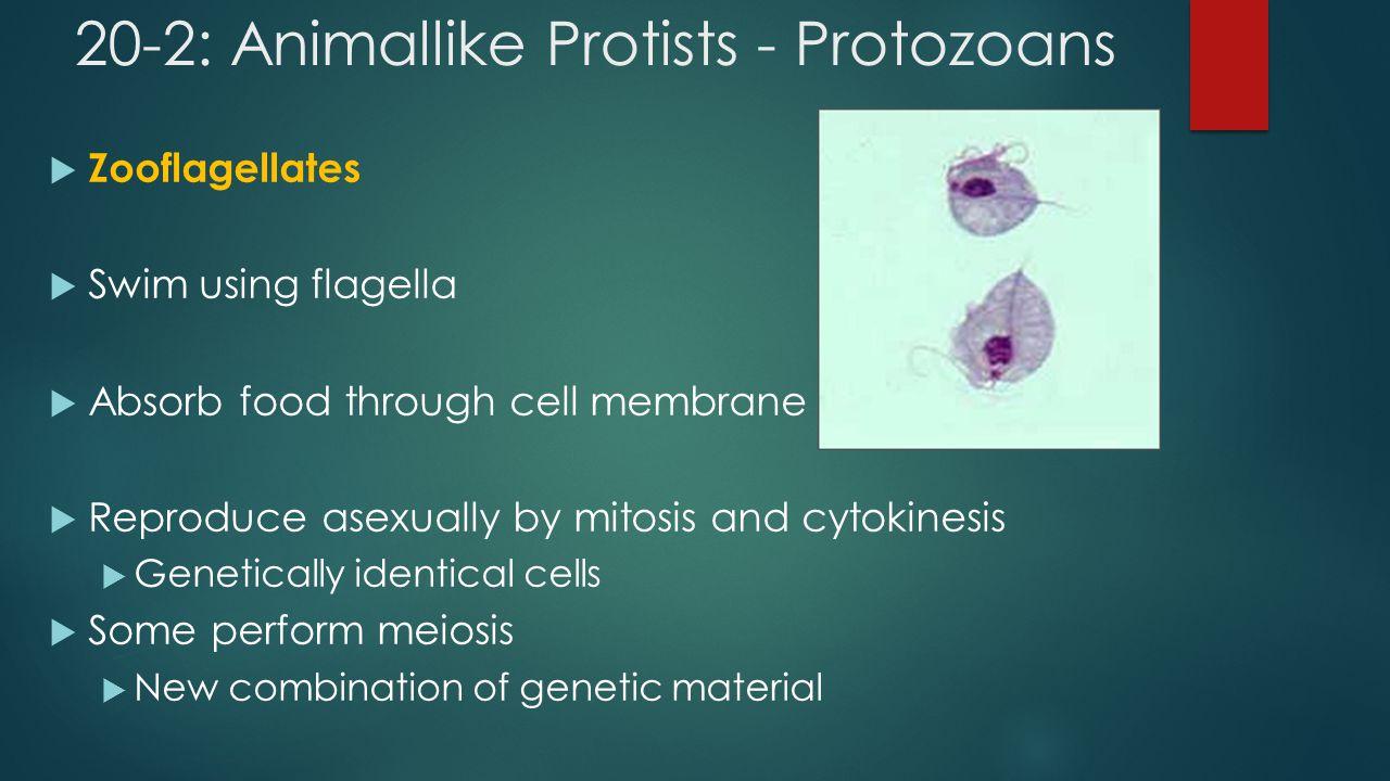 20-2: Animallike Protists - Protozoans