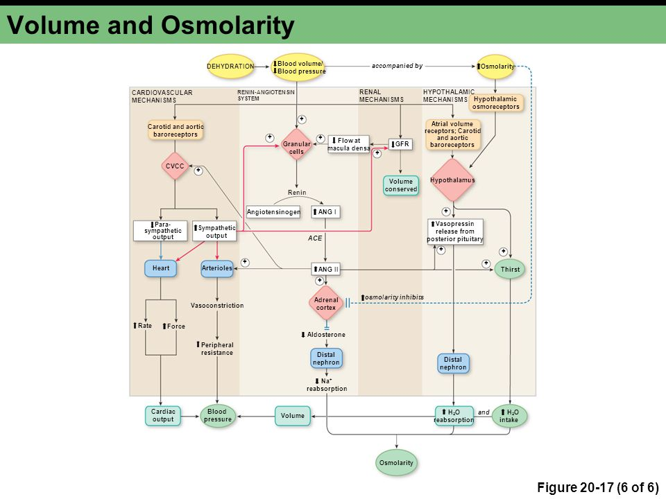 Volume and Osmolarity Figure 20-17 (6 of 6) DEHYDRATION