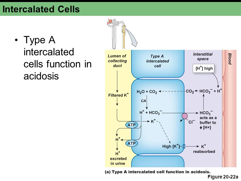 Type A intercalated cells function in acidosis
