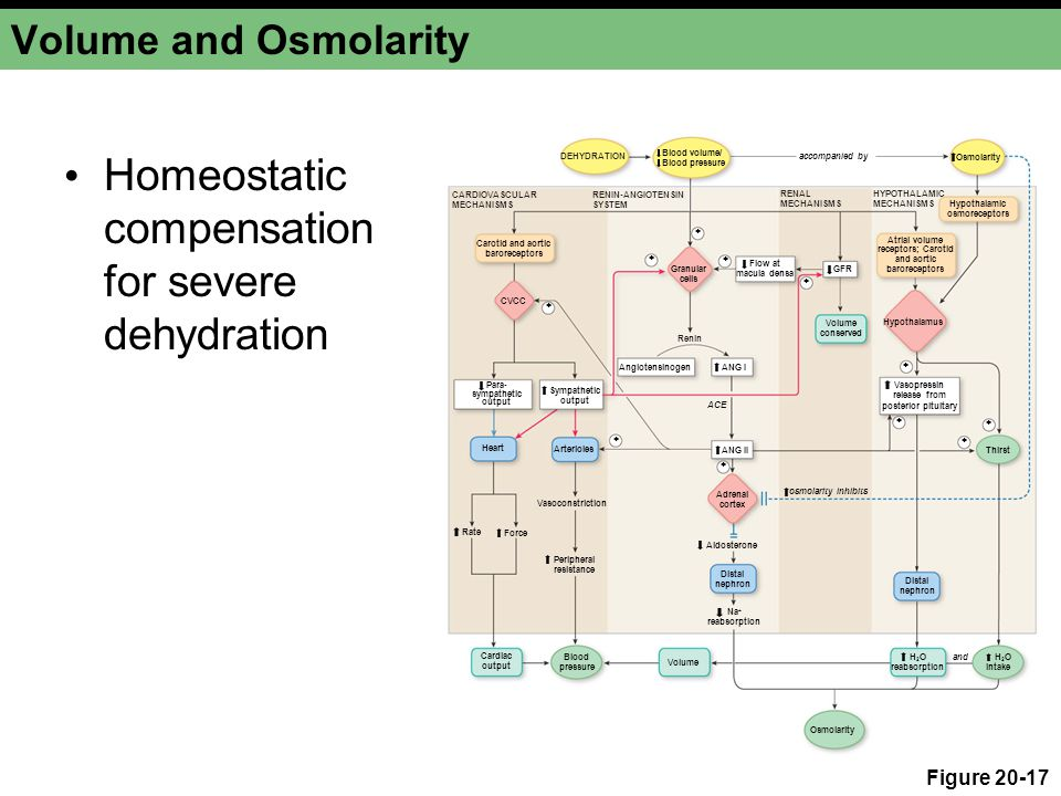 Homeostatic compensation for severe dehydration