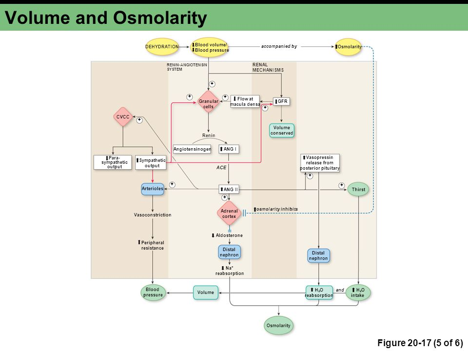 Volume and Osmolarity Figure 20-17 (5 of 6) DEHYDRATION