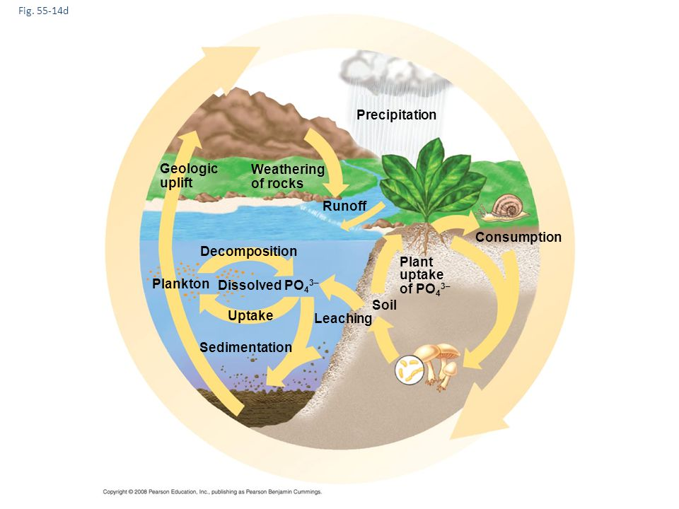Precipitation Geologic Weathering uplift of rocks Runoff Consumption