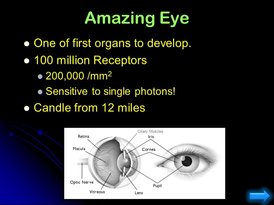 Amazing Eye One of first organs to develop. 100 million Receptors