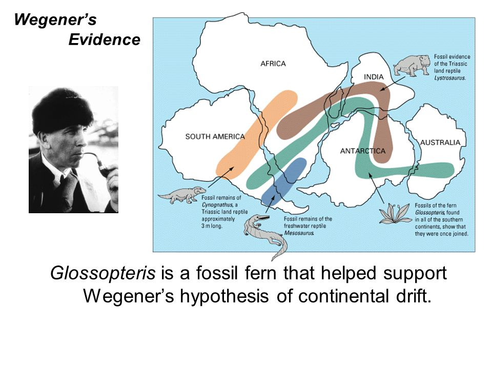 Wegener's Evidence Glossopteris is a fossil fern that helped support Wegener's hypothesis of continental drift.