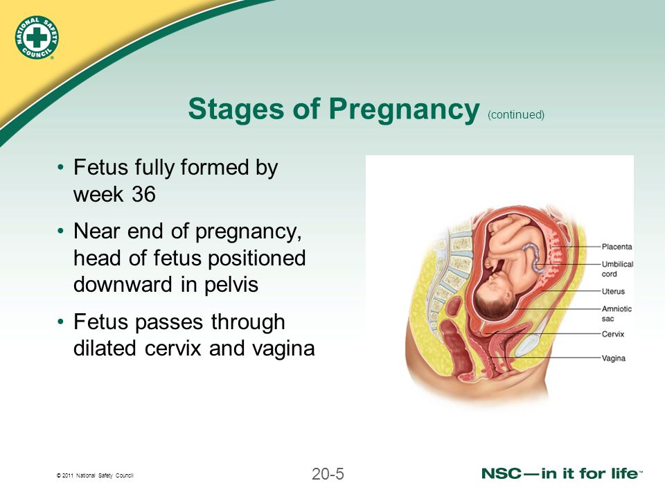 Stages of Pregnancy (continued)