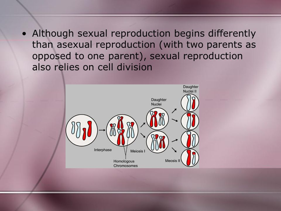 Although sexual reproduction begins differently than asexual reproduction (with two parents as opposed to one parent), sexual reproduction also relies on cell division