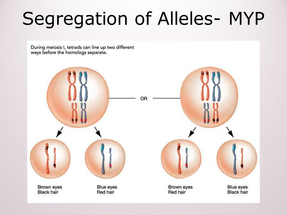 Segregation of Alleles- MYP
